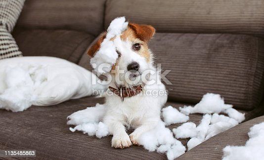 istock FUNNY DOG MISCHIEF. NAUGHTY JACK RUSSELL HOME ALONE AFTER BITE A PILOW. SEPARATION ANXIETY CONCEPT 1135485863