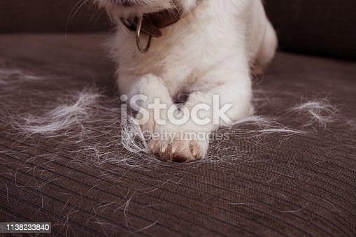 CLOSE-UP FURRY JACK RUSSELL DOG, SHEDDING HAIR DURING MOLT SEASON ON SOFA FURNITURE.