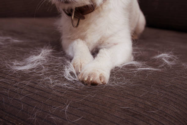 CLOSE-UP FURRY JACK RUSSELL DOG, SHEDDING HAIR DURING MOLT SEASON ON SOFA FURNITURE. CLOSE-UP FURRY JACK RUSSELL DOG, SHEDDING HAIR DURING MOLT SEASON ON SOFA FURNITURE. animal hair stock pictures, royalty-free photos & images