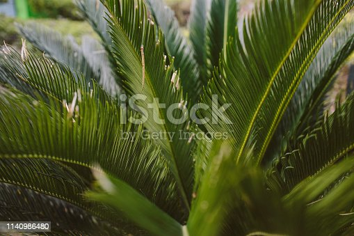909846922 istock photo CLOSE-UP OF PALM LEAVES 1140986480