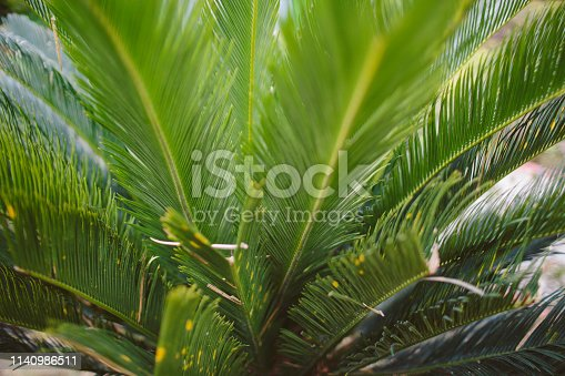 909846922 istock photo CLOSE-UP OF PALM LEAVES 1140986511