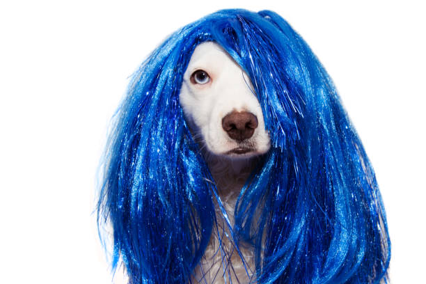 DOG CARNIVAL OR NEW YEAR COSTUME. TERRIER WEARING A BLUE WIG DISGUISE. ISOLATED ON WHITE BACKGROUND. DOG CARNIVAL OR NEW YEAR COSTUME. TERRIER WEARING A BLUE WIG DISGUISE PARTY. ISOLATED ON WHITE BACKGROUND. pet clothing stock pictures, royalty-free photos & images