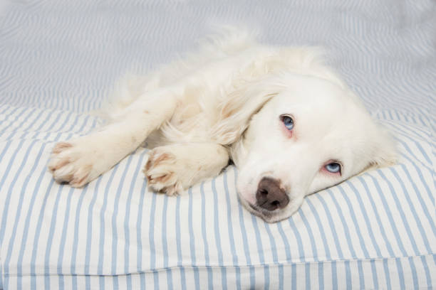 cute young terrier dog with blue eyes falling asleep on stripped bed owner. sick,sad or relaxing. - condizione medica foto e immagini stock
