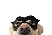 CLOSE-UP DOG SUPER HERO COSTUME. LABRADOR RETRIEVER WEARING A BLACK MASK AND A CAPE.  CARNIVAL OR HALLOWEEN HOLIDAY. ISOLATED STUDIO SHOT AGAINST WHITE BACKGROUND.