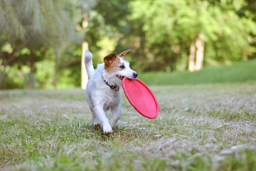 ACTIVE JACK RUSSELL DOG CATCHING DISC FRISBEE