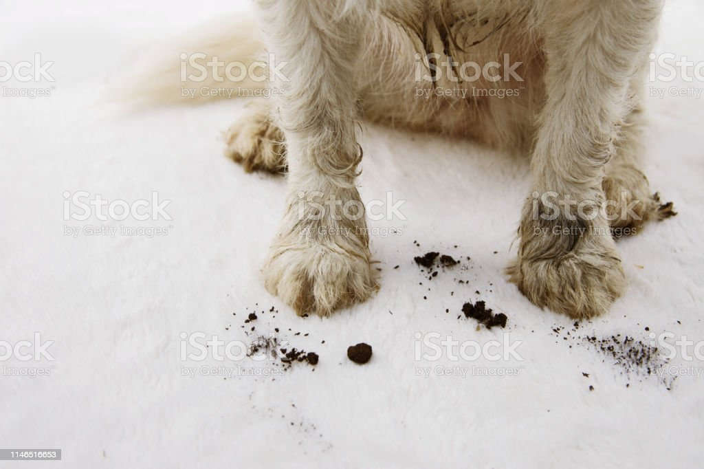 自宅で汚いと泥だらけの犬のカーペットをクローズアップ。 ロイヤリティフリーストックフォト