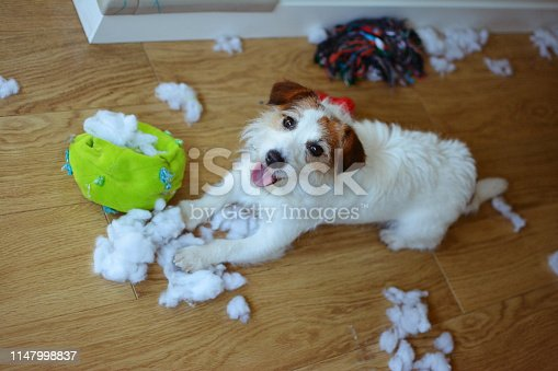 DOG MISCHIEF. FUNNY AND GUILTY JACK RUSSELL DESTROYED A FABRIC AND FLUFFY BALL AND TOYS AT HOME. HIGH ANGLE VIEW