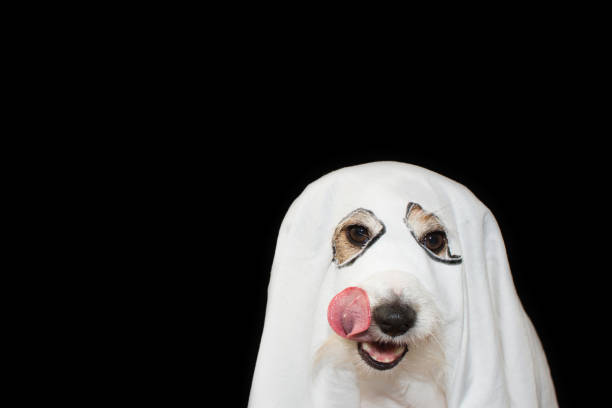 ACK RUSSELL DOG HALLOWEEN GHOST COSTUME PARTY. LINKING WITH TONGUE NOSE ISOLATED AGAINTS BLACK BACKGROUND JACK RUSSELL DOG HALLOWEEN GHOST COSTUME PARTY. LINKING WITH TONGUE NOSE ISOLATED AGAINTS BLACK BACKGROUND pet clothing stock pictures, royalty-free photos & images