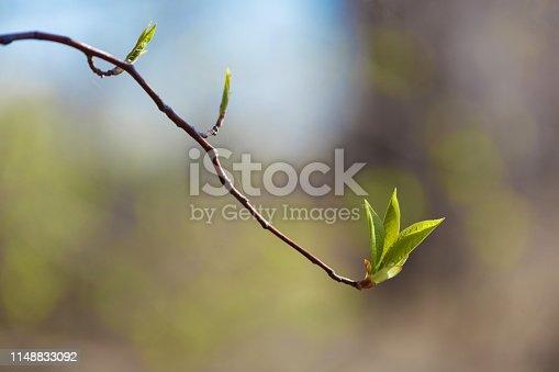 Молодая и цветущая зелень. Красивые молодые побеги и распускающиеся листья на дереве. Весна-красавица. Макрофотография дикой природы в высоком качестве