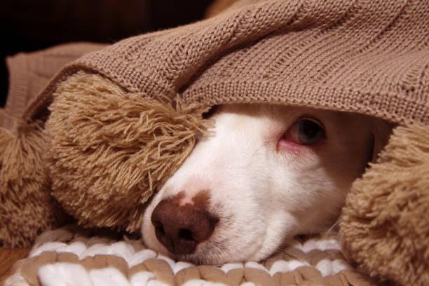 아픈 또는 겁에 질린 강아지 따뜻한 술 담요로 덮여 - 무서움 뉴스 사진 이미지