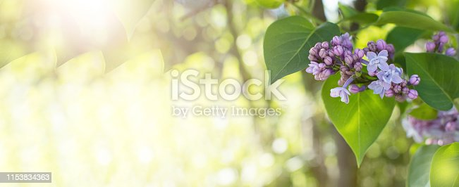 901386728 istock photo BANNER SPRING BRANCH OF BLOSSOMING LILAC DEFOCUSED BACKGROUND 1153834363