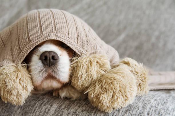 아픈, 장난 또는 겁에 질린 무심 한 강아지 따뜻한 술 담요로 덮여 - 무서움 뉴스 사진 이미지