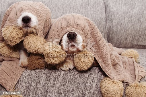 TWO SICK, PLAYFUL OR SCARED CAVALIER AND JACK RUSSELL DOGS COVERED WITH A WARM  TASSEL BLANKET