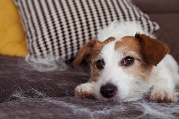 FURRY JACK RUSSELL DOG, SHEDDING HAIR DURING MOLT SEASON RELAXING ON SOFA FURNITURE. FURRY JACK RUSSELL DOG, SHEDDING HAIR DURING MOLT SEASON RELAXING ON SOFA FURNITURE. shed stock pictures, royalty-free photos & images