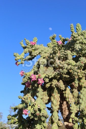 Although this particular occurence in 29 Palms of the Southern Mojave Desert is cultivated, the species, botanically classified as Cylindrulopuntia Fulgida, is a constituent of native plant communities in adjacent areas of the Colorado Desert in Arizona, and The Sonoran Desert in Mexico.