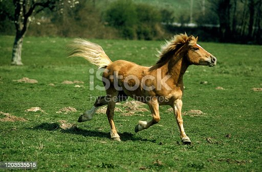 istock HAFLINGER PONY ADULT TROTTING ON GRASS 1203535515