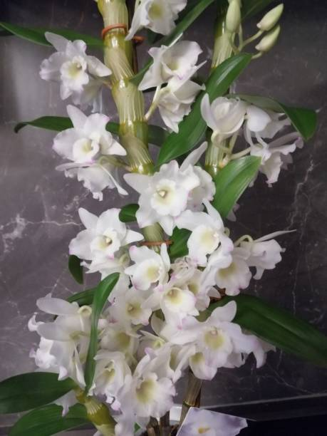 ORCHID  WHITE BLOOMS stock photo