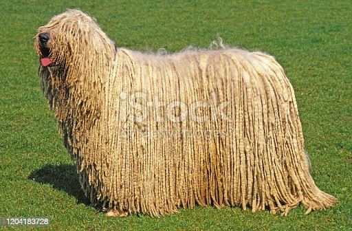 KOMONDOR DOG, ADULT ON GRASS