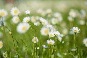White daisies on a green glade closeup.
