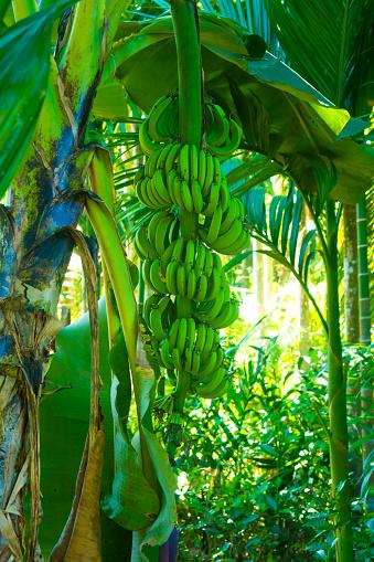 istock BANANA MUSA PARADISIACA ACUMINATA BALBISIANA TREE WITH GREEN IMMATURE BANANAS IN A FOREST INDIA 1215101570