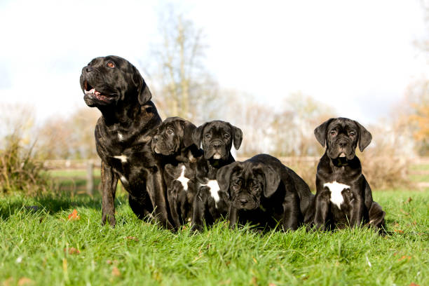 CANE CORSO, A DOG BREED FROM ITALY, FEMALE WITH PUPPIES ON GRASS CANE CORSO, A DOG BREED FROM ITALY, FEMALE WITH PUPPIES ON GRASS cane corso stock pictures, royalty-free photos & images