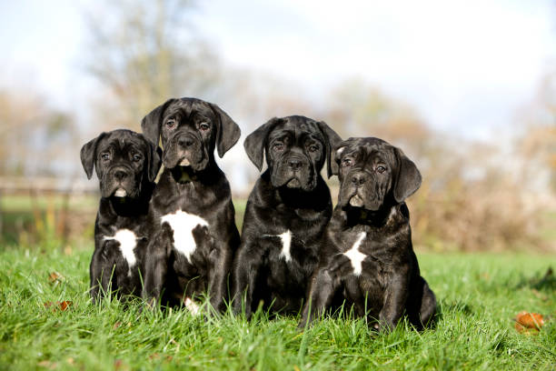 CANE CORSO, A DOG BREED FROM ITALY, PUPPIES ON GRASS CANE CORSO, A DOG BREED FROM ITALY, PUPPIES ON GRASS cane corso stock pictures, royalty-free photos & images
