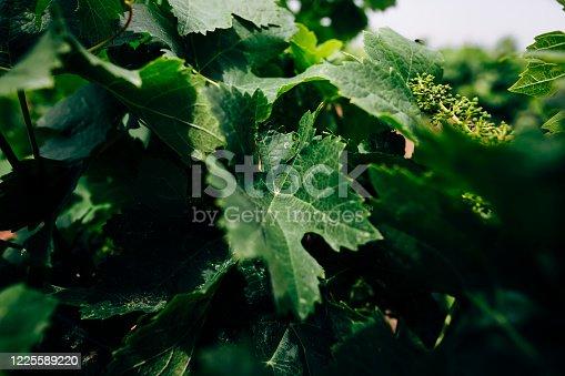 wine growing fields in open landscapes. wine, grapes, harvest, green, grape, landscape,