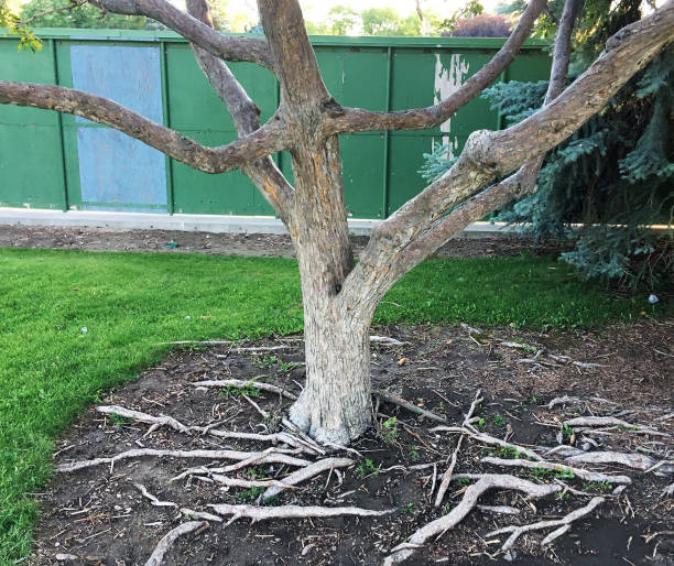 TREE IN PARK WITH EXPOSED ROOTS stock photo