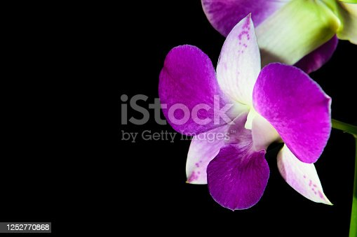 PURPLE DENPHAL ORCHID HAVING ITS PETAS LIGHTED BY SUNLIGHT PHOTOGRAPHED ON A BLACK BACKGROUND