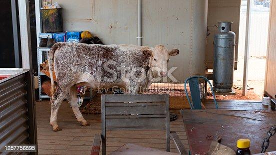 COW IN THE HABITATION IN THE ABORIGINAL COMMUNITY IN AUSTRALIA NOVEMBRE-2019- YUENDUMU-AUSTRALIA;