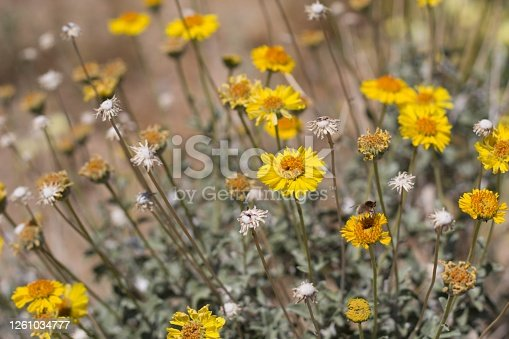 Yellow Head flowers on Acton Brittlebush, Encelia Actoni, Asteraceae, native perennial shrub in the margins of Joshua Tree City, Southern Mojave Desert, Springtime.