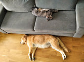 istock CUTE DOG AND THEIR BEST FRIEND CAT RESTING, SLEEPING TOGETHER ON THE SOFA 1269719781