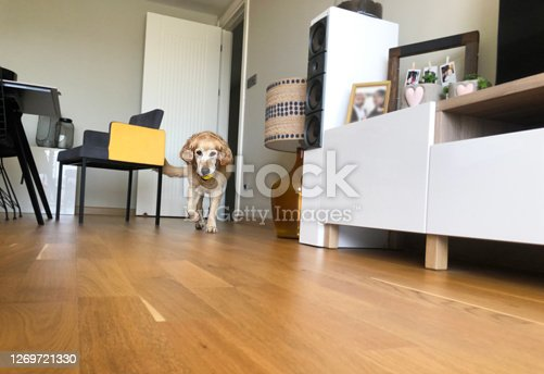 DOG, CUTE, GOLDEN RETRIEVER, ANIMAL, PET LOVE