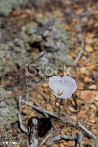 Blooming purple umbel inflorescence of Plain Mariposa Lily, Calochortus Invenustus, Liliaceae, native hermaphroditic herbaceous perennial in Baldwin Lake Ecological Reserve, San Bernardino Mountains, Transverse Ranges, Summer.