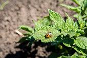 Potato bugs eating green leaves of potato bush. Insects pests eats potato leaves. Colorado beetle close-up image.