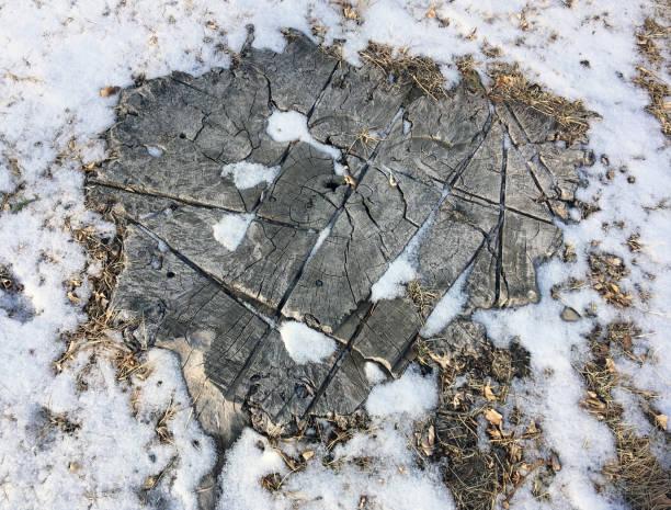 TREE STUMP IN SNOW stock photo
