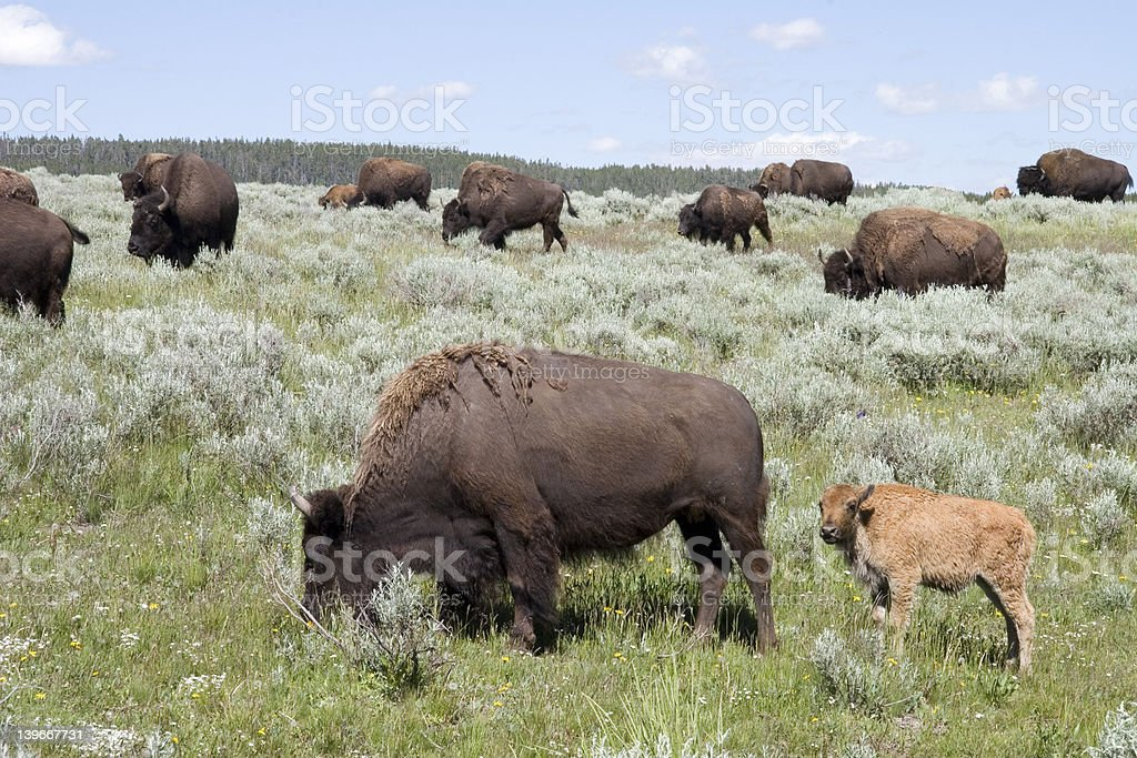 BUFFALO MOTHER AND BABY  WITH HERD royalty-free stock photo