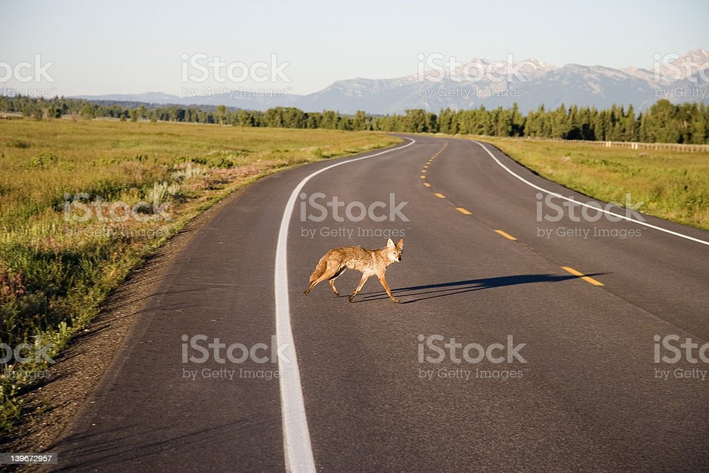 COYOTE CROSSING ROAD royalty-free stock photo