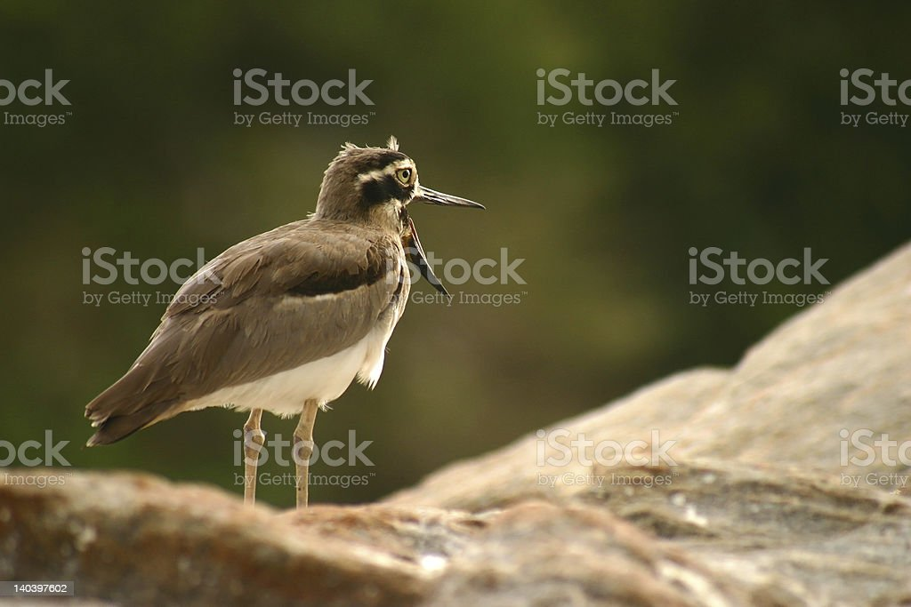 GREAT THICK-KNEE stock photo