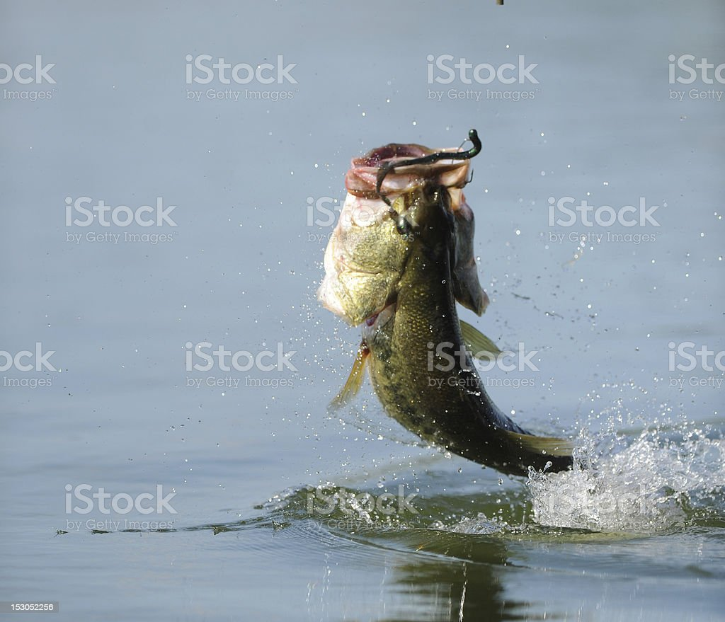 JUMPING BASS royalty-free stock photo