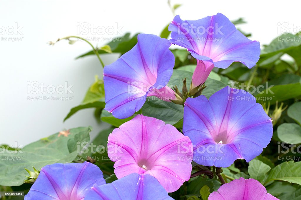 morning glory stock photo