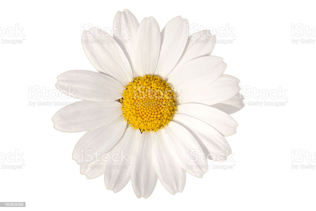 white daisy, spring time flower beauty in nature stock photo