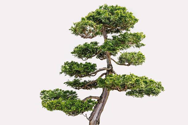 29 Hinoki False Cypress Bonsai Tree Stock Photos Pictures Royalty Free Images Istock