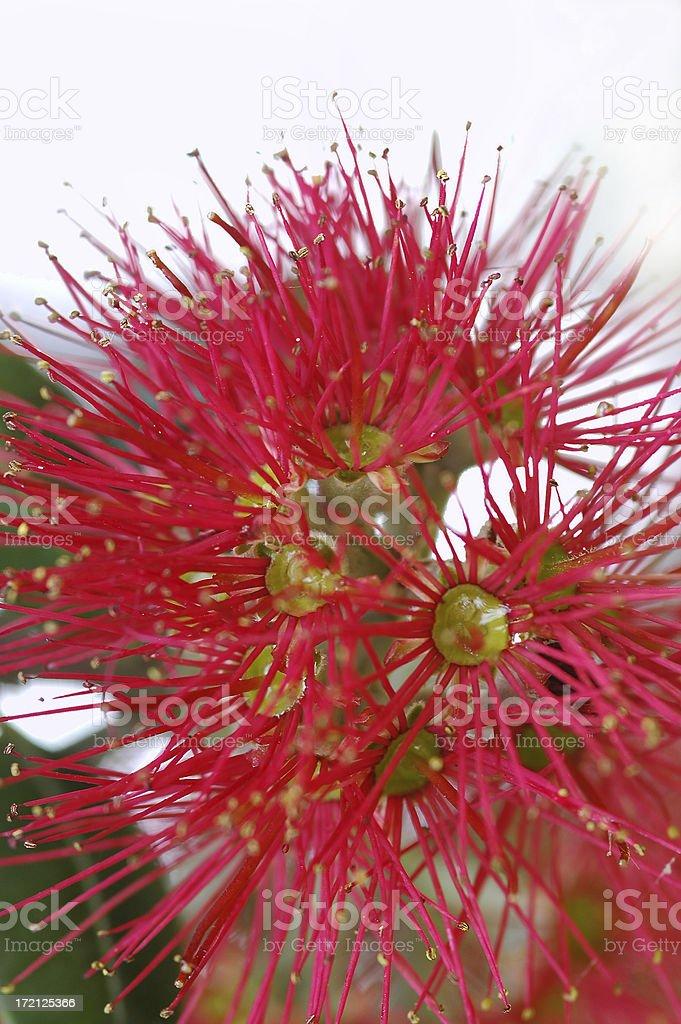 POHUTUKAWA FLOWER MACRO royalty-free stock photo