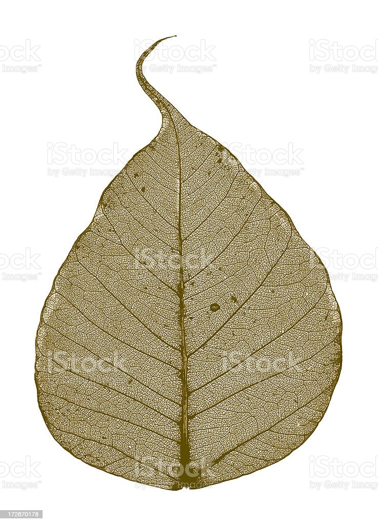 BO LEAF TRANSPARENCY WITH CLIPPING PATH royalty-free stock photo
