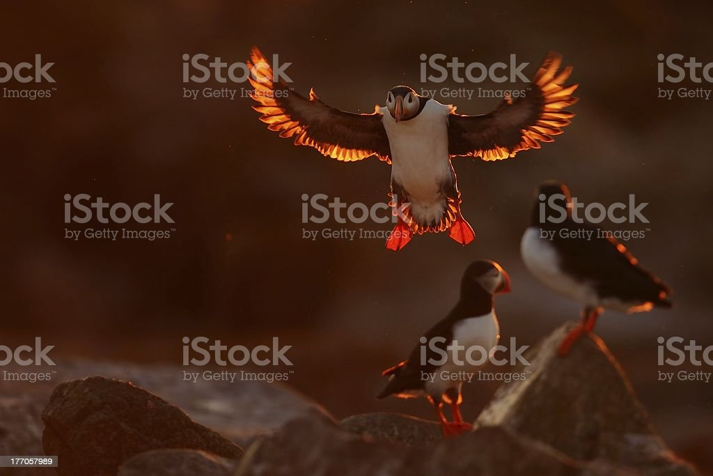 PUFFIN TOUCH DOWN stock photo