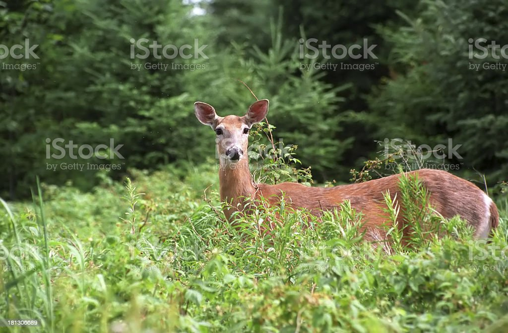 WHITE TAILED DOE IN FIELD stock photo