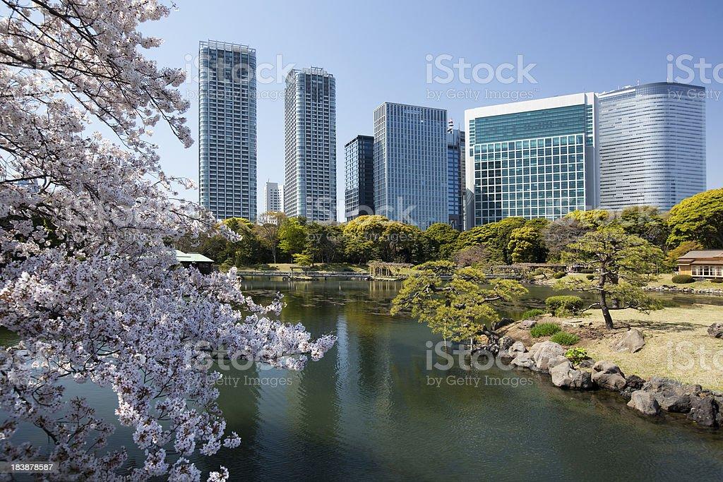 SAKURA(Cherry Blossom) royalty-free stock photo