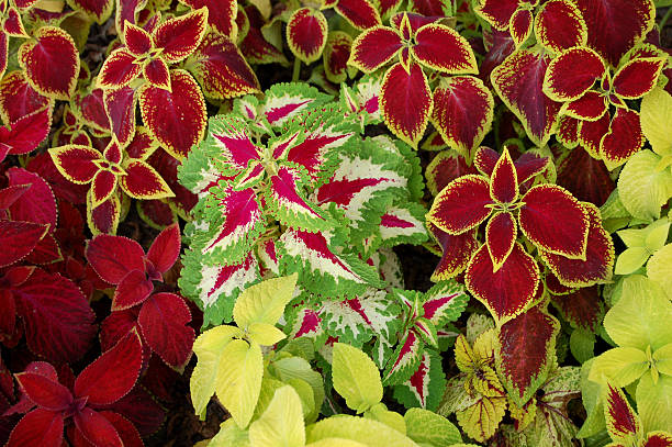 URTICA COLEUS BLUMEI stock photo