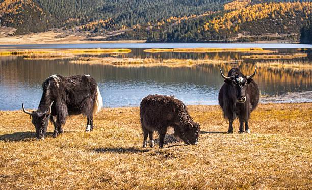 тибетские яки stock photo